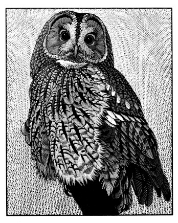 Colin See-Paynton, Tawny Owl II £525