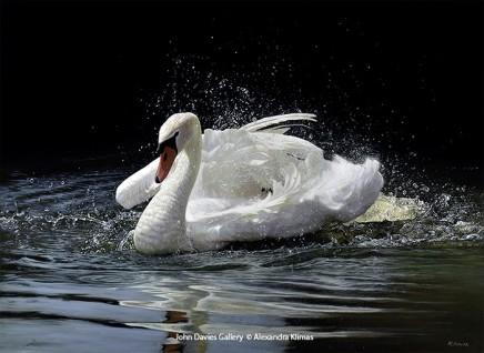 Beauty the Mute Swan