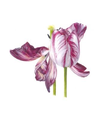 Fiona Strickland: Tulipa