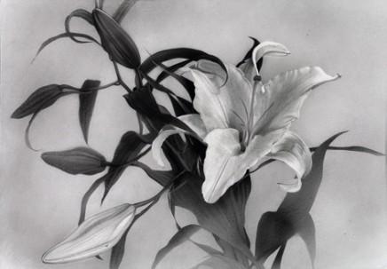 Atsushi Suwa, Oriental Hybrid Lily, 2015