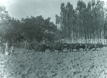 Rev. C.H. Stileman, Five pairs of oxen treading millet, Late 19th Century