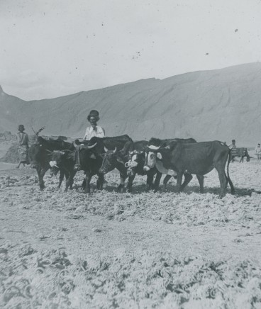 Not known, Ploughing (5-yoke), 2 yokes Buffaloes, 3 Oxen, Late 19th Century