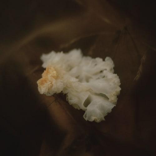 Elizabeth Gabrielle Lee  Xue Mu Er (Snow Fungus), 2018  archival print on awagami bunkoshi washi paper, mounted on aluminium  50.8 × 40.6 cm  Edition of 5 plus 2 artist's proofs  Series: Vessels