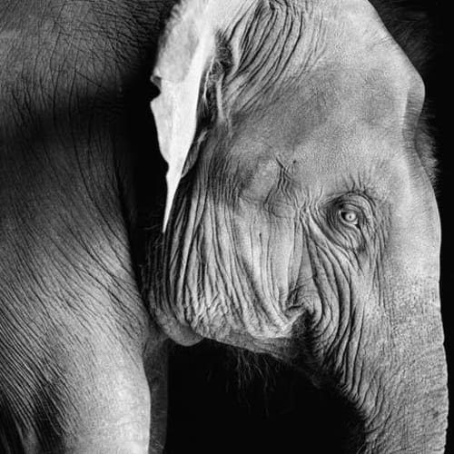 Derry Moore, Young Elephant