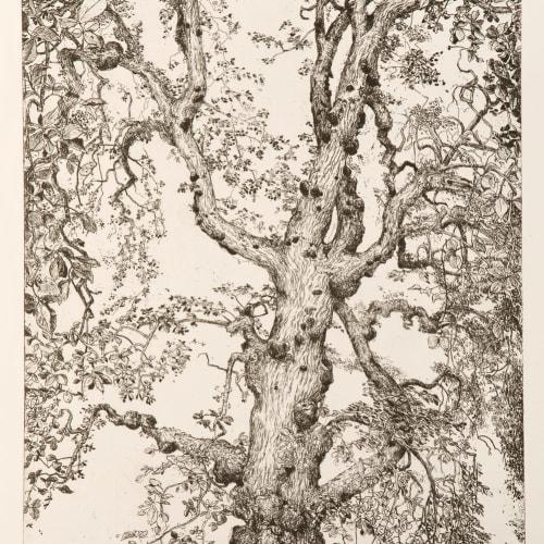 Ian Westacott  Owl Tree | Elm, Cromarty, 2017/18  etching  62cm x 41cm