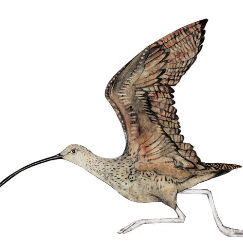 Beatrice Forshall - Curlew (Unframed)