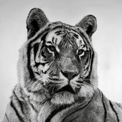 David Hunt - Tiger III (London Gallery)