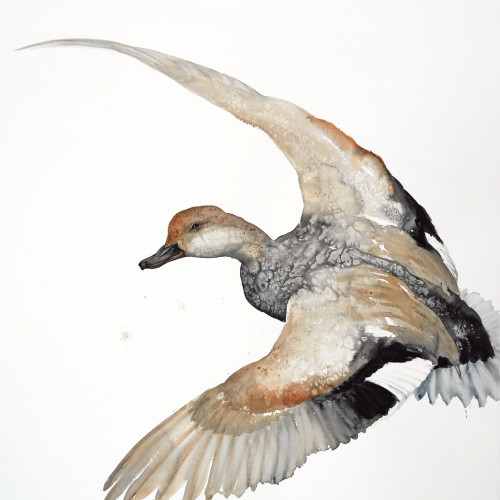Karl Martens - Gadwall Flying (Unframed)