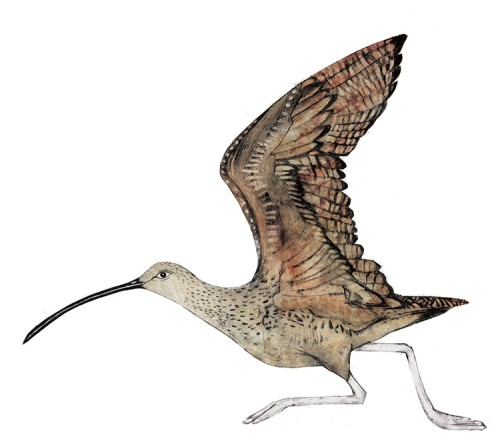 Beatrice Forshall, Curlew (Unframed)