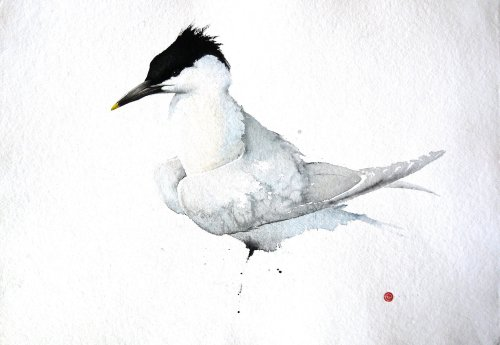 Sandwich Tern (Unframed) (Hungerford Gallery)