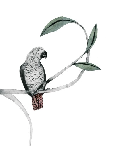 Beatrice Forshall, African Grey Parrot (Unframed)