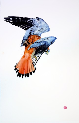 Sparrowhawk (Unframed) (Hungerford Gallery)