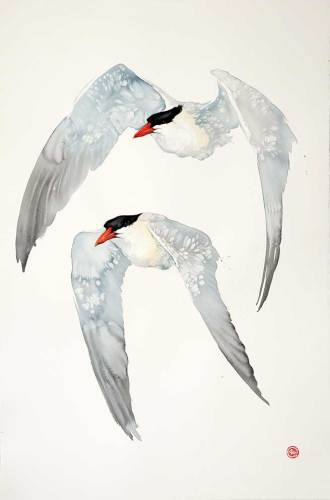 Caspian Terns (Unframed) (Hungerford Gallery)