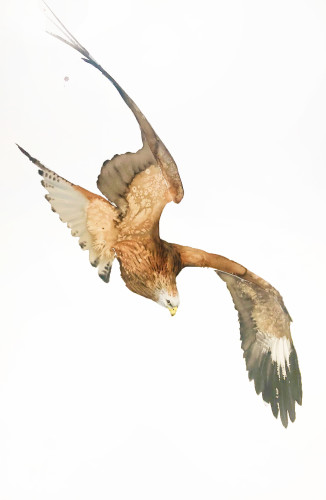 Karl Martens, Red Kite (Hungerford Gallery)