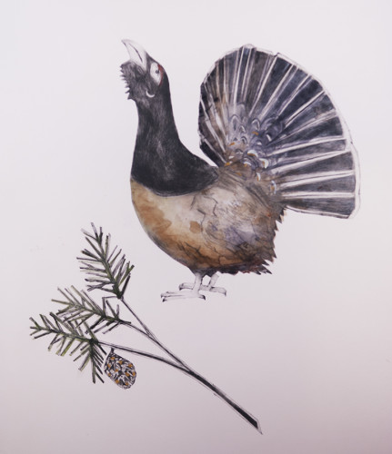 Beatrice Forshall, Capercaillie (Mounted)
