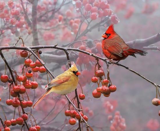 Antal Goldfinger, Cardinals
