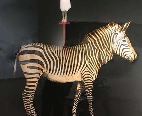 Anke Schofield, Zebra Girl
