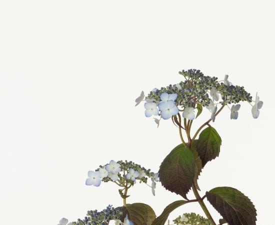 Takashi Tomo-oka, Mountain Hydrangea 1, Yamaajisai, 2012