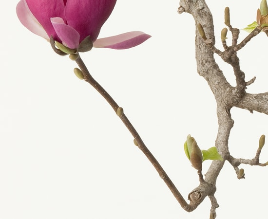 Takashi Tomo-oka, Magnolia Liliiflora 1, Mokuren, 2012