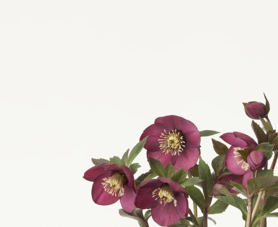 Takashi Tomo-oka, Christmas Rose 2, Christmas Rose, 2013