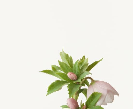 Takashi Tomo-oka, Christmas Rose 3, Christmas Rose, 2013