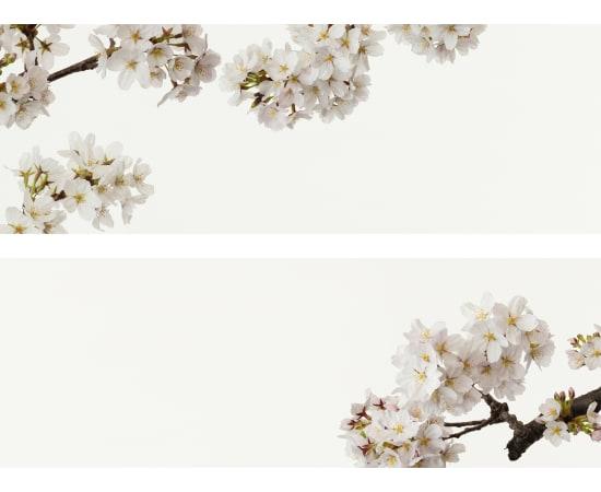 Takashi Tomo-oka, Cherry Blossom 7, Sakura, 2019