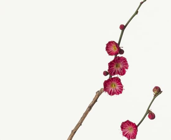 Takashi Tomo-oka, Plum Blossom 1, Kobai, 2013