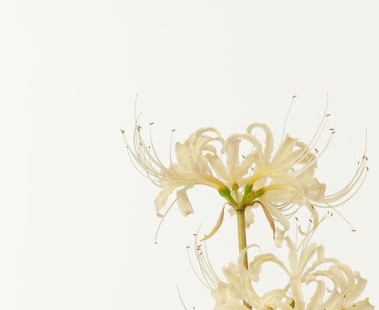 Takashi Tomo-oka, White Spider Lily , 2009