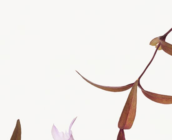 Takashi Tomo-oka, Gentiana Scabra 1, Rindo, 2014