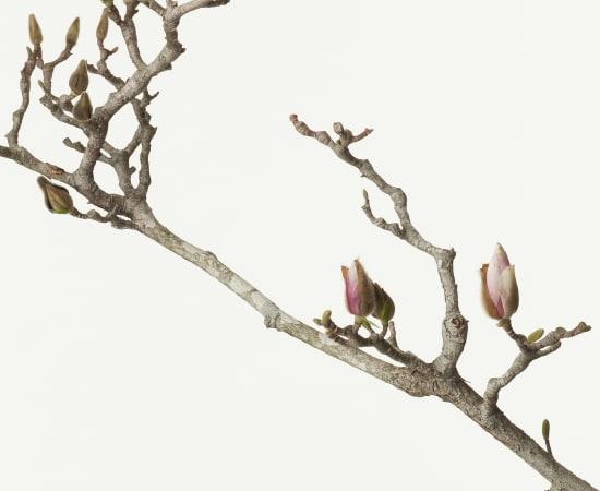 Takashi Tomo-oka, Magnolia Liliiflora 3, Mokuren, 2013