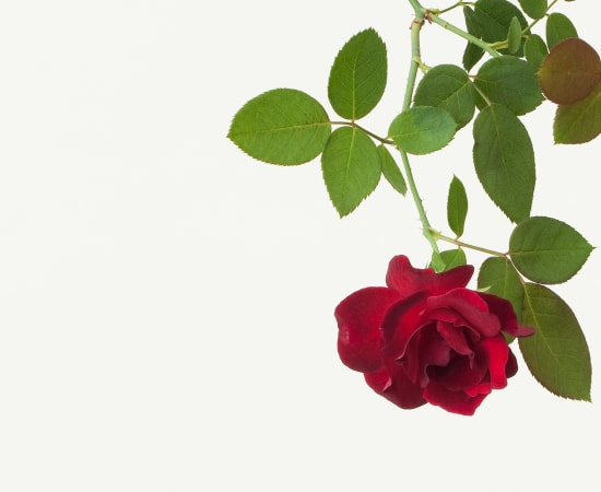 Takashi Tomo-oka, Rose 1, Bara, 2013