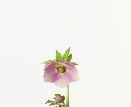 Takashi Tomo-oka, Christmas Rose 6, Christmas Rose, 2013