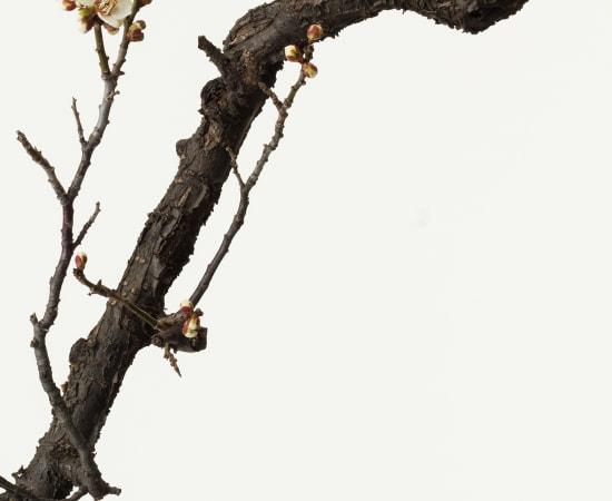 Takashi Tomo-oka, White Plum Blossom 7, Shiraume, 2019