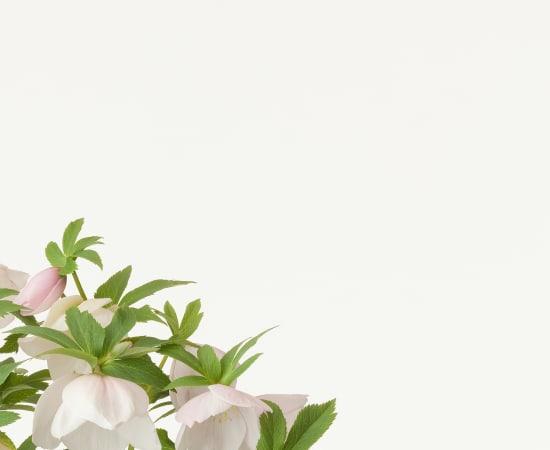 Takashi Tomo-oka, Christmas Rose 5, Christmas Rose, 2013