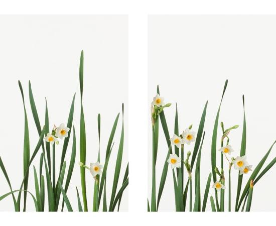 Takashi Tomo-oka, Japanese Daffodil 1, Nihonsuisen, 2013