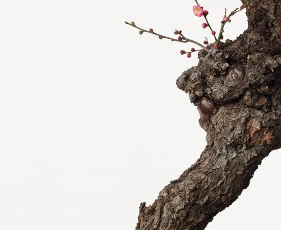 Takashi Tomo-oka, Plum Blossom 2, Kobai, 2015