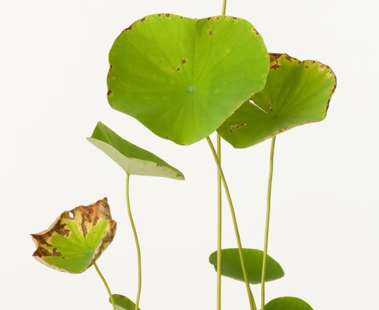 Takashi Tomo-oka, Lotus 1, Hasu, 2011