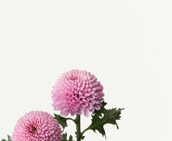 Takashi Tomo-oka, Chrysanthemum 1, Kiku, 2013
