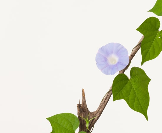 Takashi Tomo-oka, Morning Glory 6, Asagao, 2016