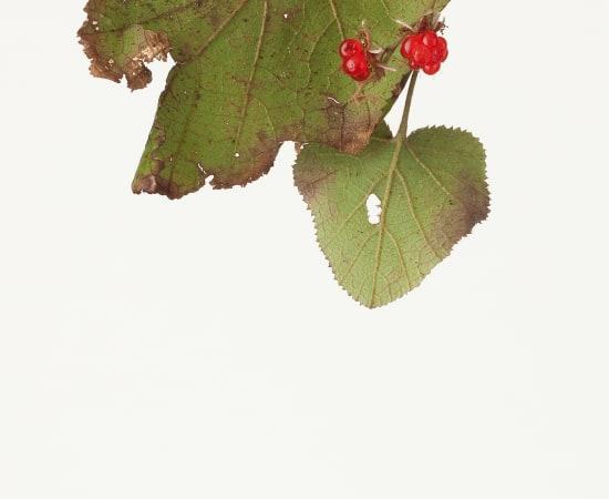 Takashi Tomo-oka, Rubus Buergeri 1, Fuyuichigo, 2012
