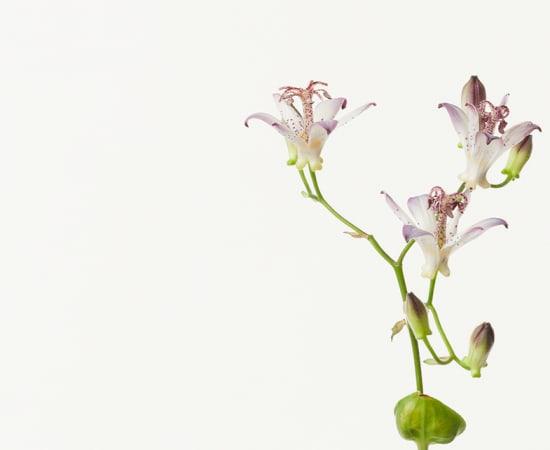 Takashi Tomo-oka, Japanese Toad Lily 3, Hototogisu, 2016