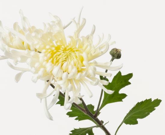 Takashi Tomo-oka, Chrysanthemum 6, Kiku, 2019