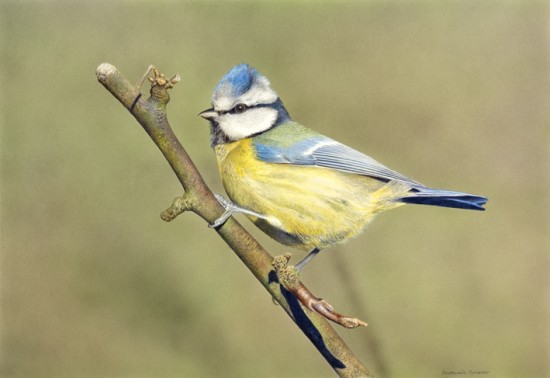 <p>Adrian Smart</p><p>&#34;Bluetit&#34;</p><p>Watercolour on board</p><p>25.5 x 37 cm</p>