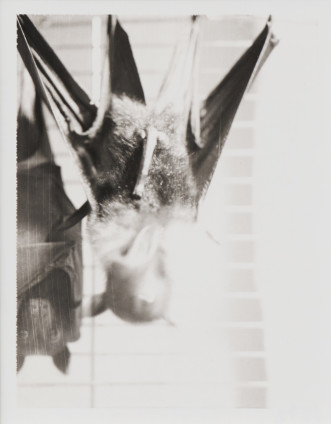Robert Mapplethorpe  Untitled (Helen Marden's Bats), 1974  Black and White Polaroid  14.6 x 11.1 cm, 5 3/4 x 4 3/8 ins paper size 45 x 37 cm, 17 3/4 x 14 5/8 ins framed