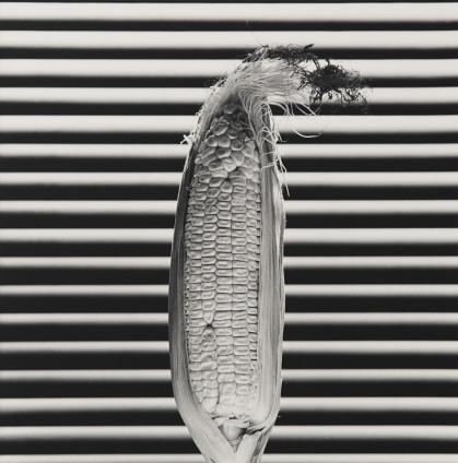 Robert Mapplethorpe  Corn, 1985  Silver Gelatin Print  50.8 x 40.6 cm, 20 x 16 ins paper size 73.3 x 60.1 cm, 28 7/8 x 23 5/8 ins framed  Edition 6/10