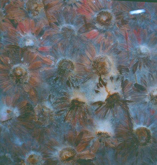 Preserve 'Beauty', 1991/2003