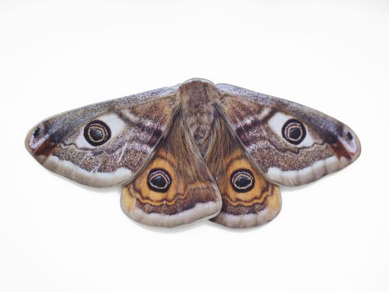 Folded Wing Moth, 2019