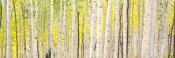 Aspens In Morning Sunshine