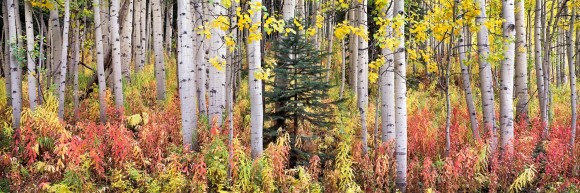Autumn Fireweed and Aspens