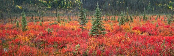 Dwarf Birch and Black Spruce Trees